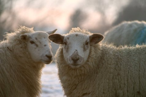 Image of two sheep outside in winter.